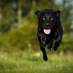 Hund kommt springend